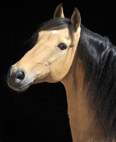 Pferderassen-werden-vorgestellt