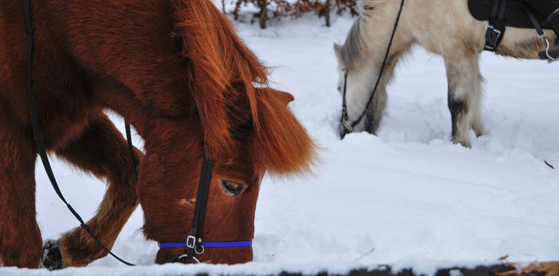 Ponys-im-Winter