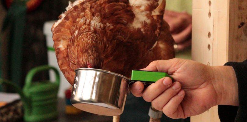 Hühner-trainieren