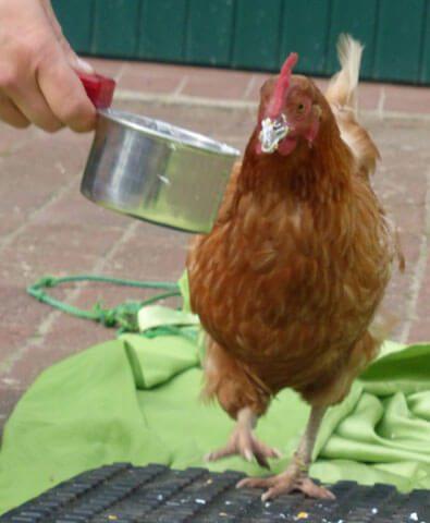 Klickertraining-mit-dem-Huhn