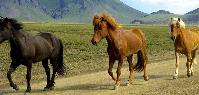Mehrere Islandpferde auf Island freilaufend