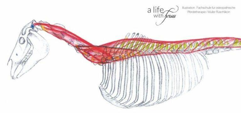 ruecken-osteopathie-longissimus grafik