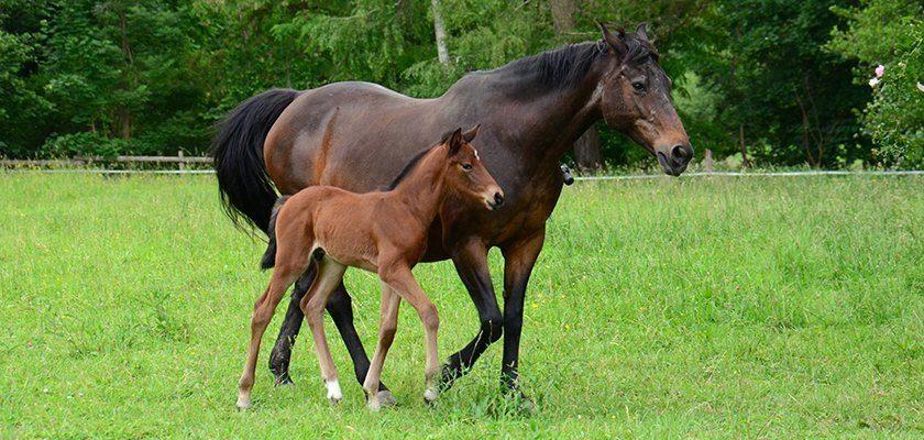 Pferdezucht: Stute und Fohlen auf der Weide