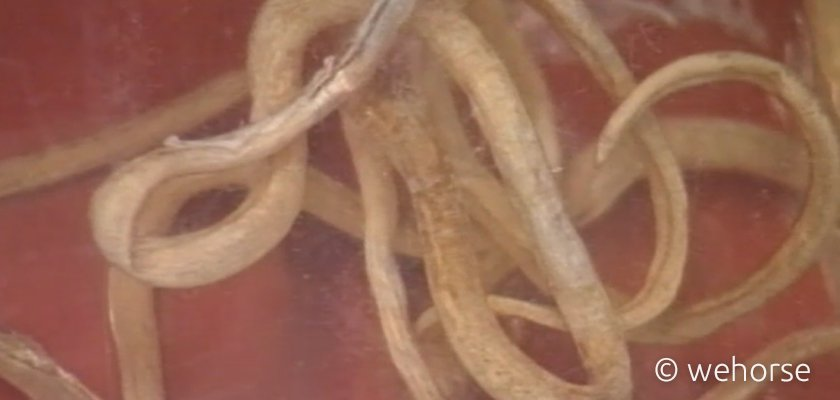 Nahaufnahme von weißen Pferdewürmern