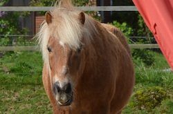 Freiarbeit Pferd - Shetty