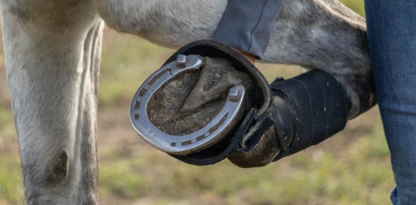 In Hufeisen kann ein Hufschmied Stollen für das Reiten im Gelände einschrauben.