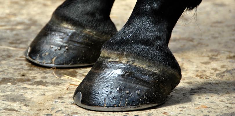 Frisch vom Hufschmied beschlagene Pferdehufe