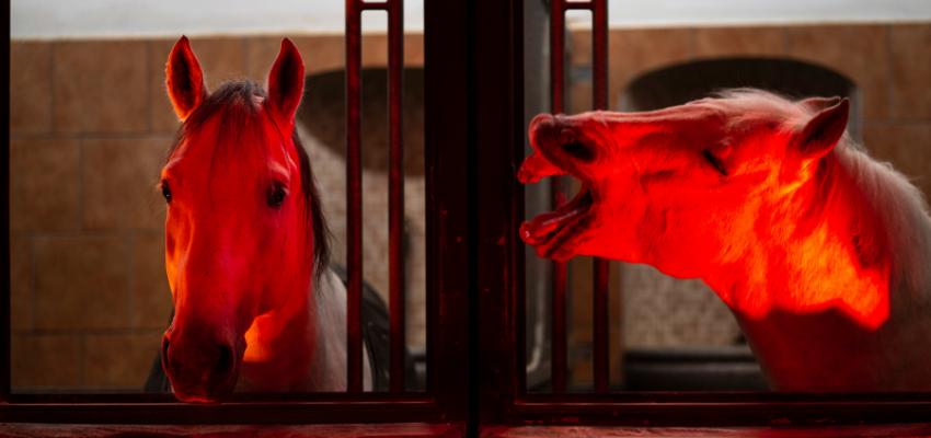 An Silvester ein ruhiges Pferd neben ein nervöses Pferd stellen