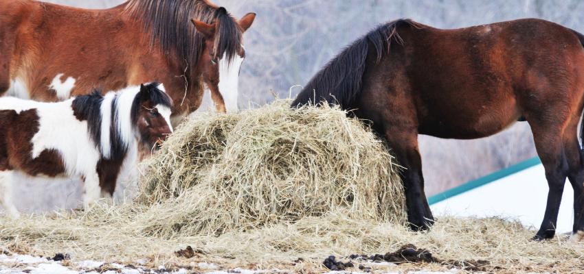 Der Heubedarf von Pferden unterschiedlicher Rassen lässt sich nicht pauschalisieren