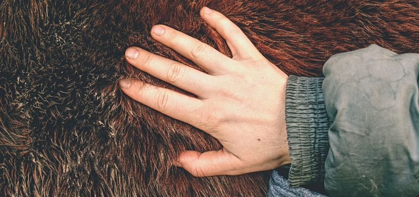 Das Winterfell des Pferdes ist besonders warm und wasserdicht