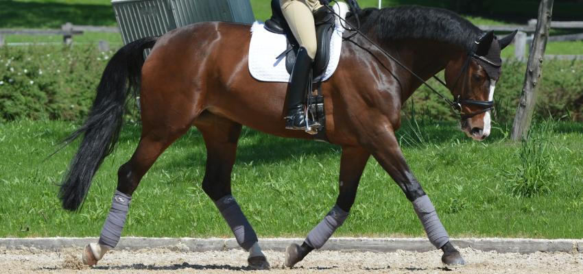 Ein Pferd geht in Selbsthaltung und Dehnungshaltung