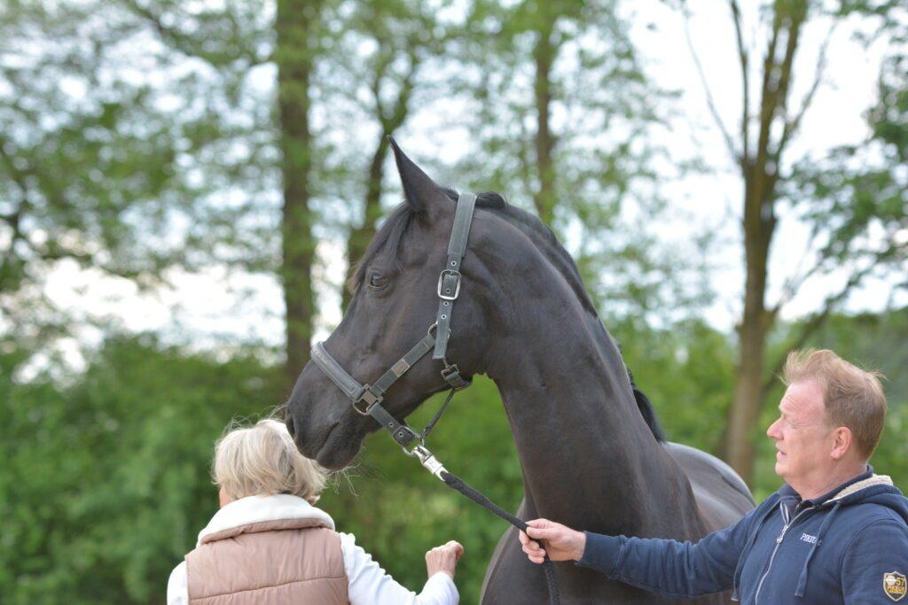 Ein Pferd wird bei einer Ankaufsuntersuchung untersucht