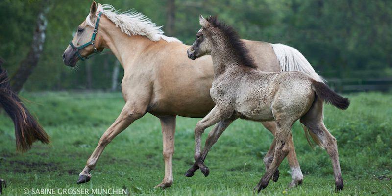 Pferdezucht mit Farbe: helles Fohlen