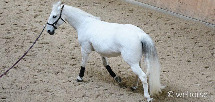 Lunge white horse dressage