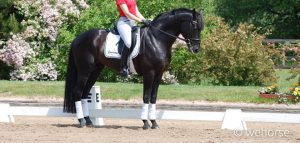 dressage-training-halt