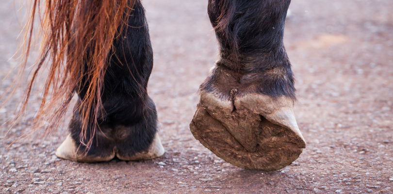 Horse-hooves-no-shoes