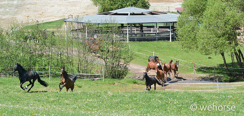 Young horses outdoor - breaking horses