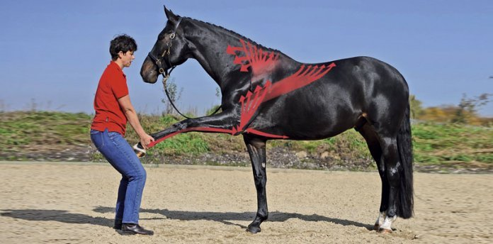 Physiotherapie-beim-Pferd