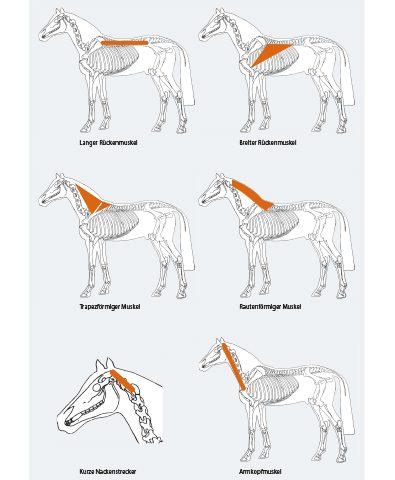 anatomie-pferd