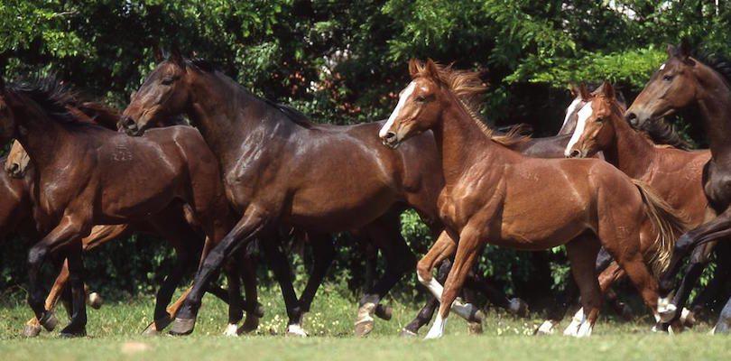 Pferde-Herde