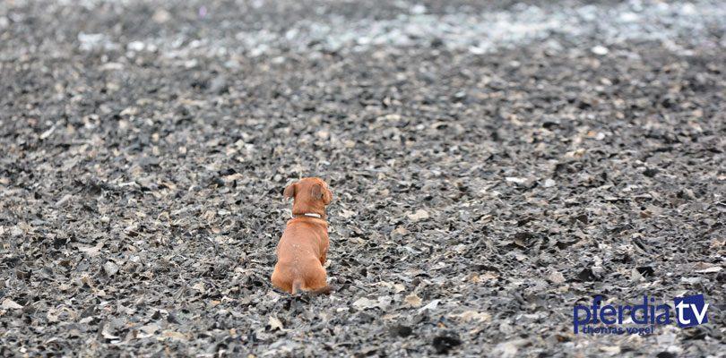 Hund-auf-Reitplatz